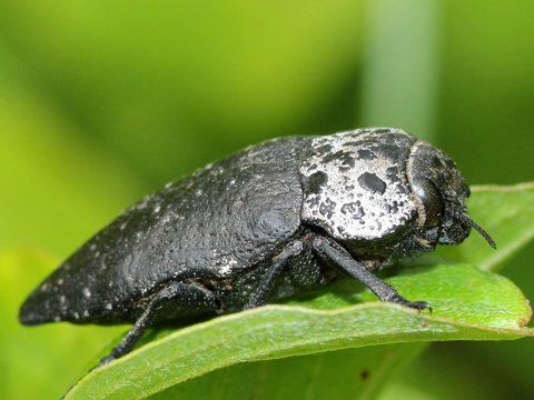 Златка чёрная - Имаго в природной среде. Использовано изображение:[12]