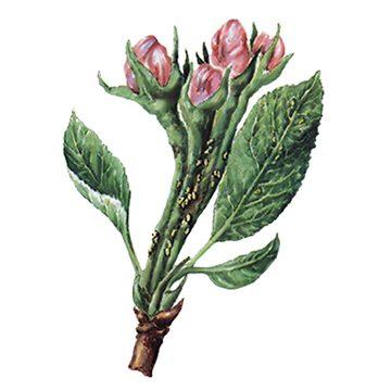 Листоблошка яблонная - Личинки на цветоносах и черешках. Использовано изображение: