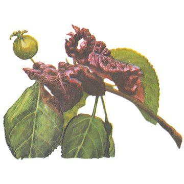 Тля красногалловая яблонная - Повреждения. Использовано изображение:[11]