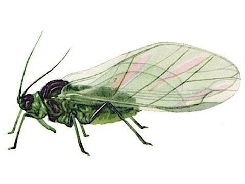 Тля зеленая яблонная - Крылатая расселительница. Использовано изображение:[10]