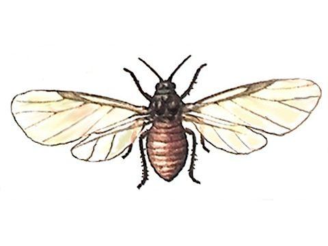 Тля кровяная - Крылатая самка. Использовано изображение:[11]