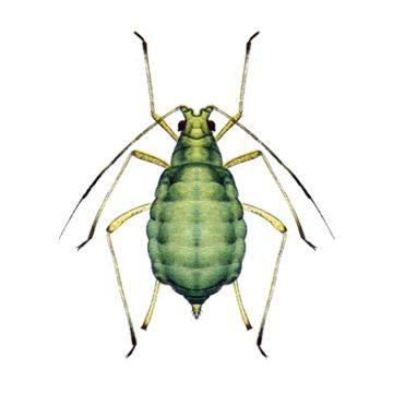 Тля зеленая персиковая - Бескрылая девственница. Использовано изображение:[10]