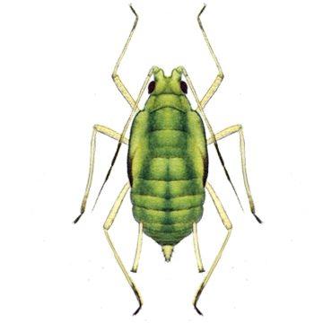 Тля зеленая персиковая - Личинка. Использовано изображение:[10]