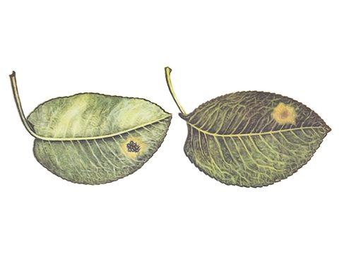 Тля грушево-зонтичная зеленая - Повреждение листьев с внутренней и внешней стороны. Использовано изображение:[10]