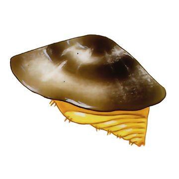 Щитовка калифорнийская - Самка под щитком. Использовано изображение:[10]