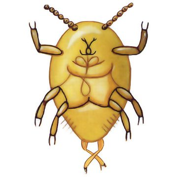 Щитовка калифорнийская - Личинка первого возраста. Использовано изображение:[10]