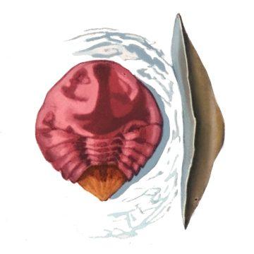 Щитовка грушевая красная - Самка. Использовано изображение: