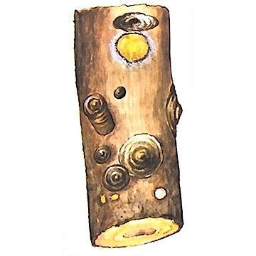 Щитовка ложнокалифорнийская - Щитовки на стволе плодового дерева. Использовано изображение: