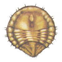 Щитовка грушевая желтая