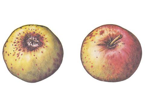 Щитовка грушевая желтая - Поврежденные плоды. Использовано изображение: