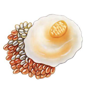 Щитовка тутовая - Яйцо. Использовано изображение: