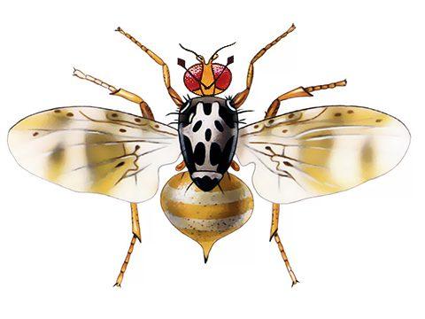 Муха средиземноморская плодовая - Имаго самки. Использовано изображение: