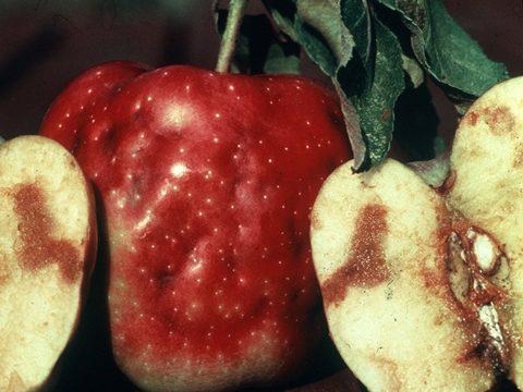 Муха яблонная - Повреждения снаружи и внутри яблок. Использовано изображение: