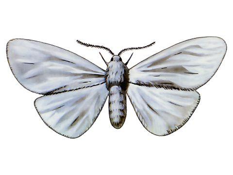 Бабочка белая американская