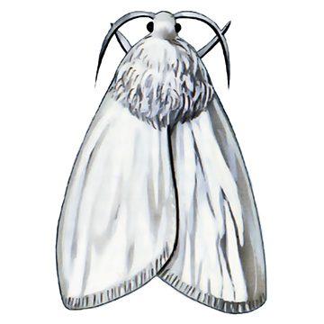 Бабочка белая американская - Имаго самки. Использовано изображение: