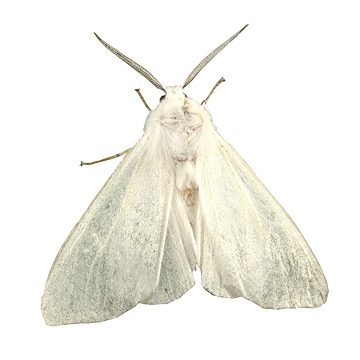 Бабочка белая американская - Имаго. Использовано изображение:[11]