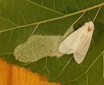 Бабочка белая американская - Имаго самки и яйцеклад. Использовано изображение: