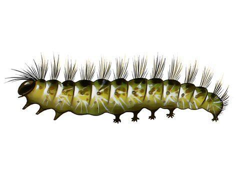 Бабочка белая американская - Гусеница. Использовано изображение: