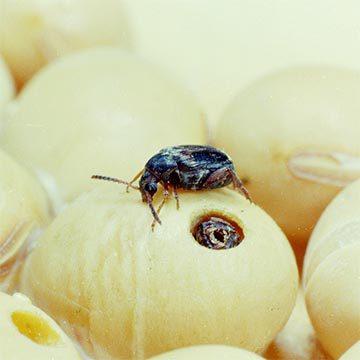 Зерновка фасолевая - Имаго на сое. Использовано изображение:[15]