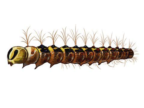 Шелкопряд  непарный - Гусеница. Использовано изображение: