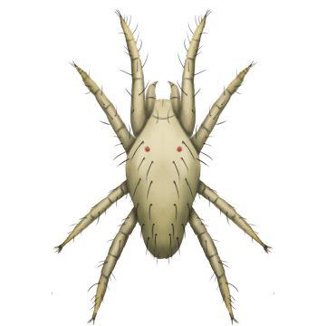 Клещ обыкновенный паутинный