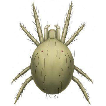 Клещ обыкновенный паутинный - Личинка. Использовано изображение: