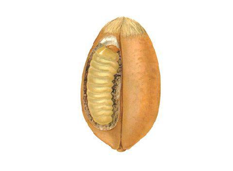 Моль зерновая - Личинка. Использовано изображение:[11]