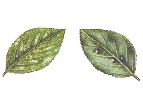 Цикадка розанная - Повреждение листа с верху и с низу Использовано изображение: