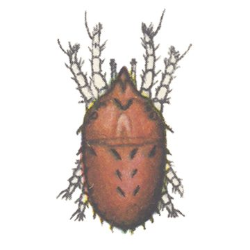 Плоскотелка плодовая - Самка. Использовано изображение: