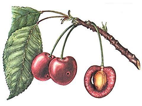 Муха вишневая - Повреждения ягод вишни. Использовано изображение:[10]