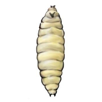 Галица грушевая плодовая - Личинка. Использовано изображение:[10]