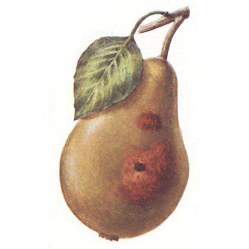 Плодожорка грушевая - Повреждения плода груши. Использовано изображение:[11]