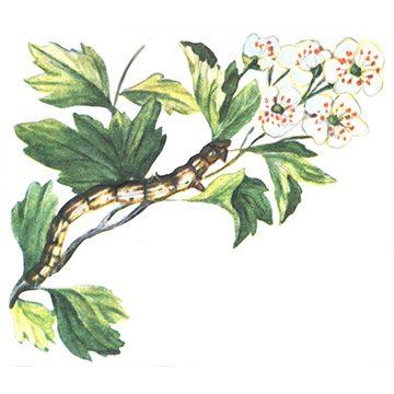 Пяденица сливовая - Личинка. Использовано изображение: