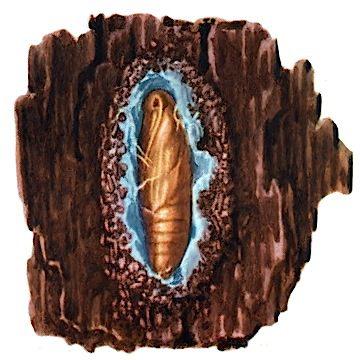 Плодожорка сливовая - Куколка. Использовано изображение:[12]