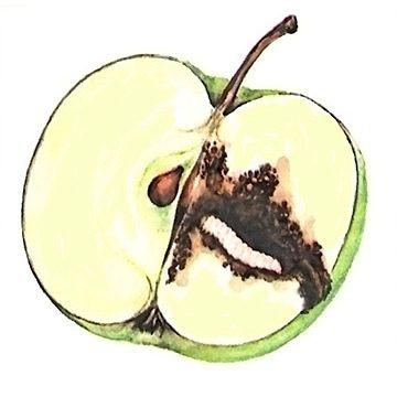 Плодожорка яблонная - Личинка. Использовано изображение:[13]