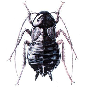 Blattidae - Таракан черный
