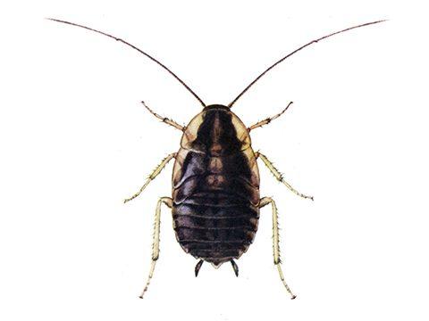 Таракан рыжий - Личинка. Использовано изображение:[12]