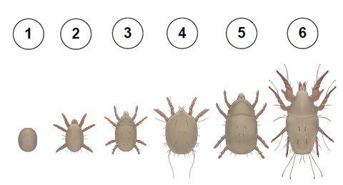 Клещ мучной - 1 - яйцо; 2 - личинка; 3 - нимфа 1-го возраста; 4 - гипопус; 5 - нимфа последнего возраста; 6 - имаго (взрослый клещ). Использовано изображение: