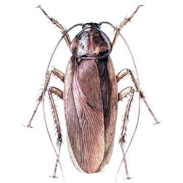 Blattidae - Таракан американский