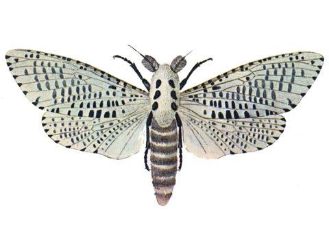 Древесница въедливая - Имаго-самец. Использовано изображение:[12]