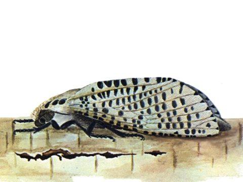 Древесница въедливая - Имаго-самка, латерально. Использовано изображение:[12]