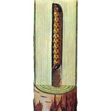 Древесница въедливая - Личинка. Использовано изображение:[12]