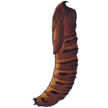 Древесница въедливая - Куколка. Использовано изображение:[12]