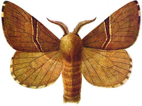Шелкопряд кольчатый - Имаго-самец. Использовано изображение:[10]