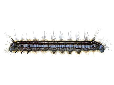 Шелкопряд кольчатый - Личинка. Использовано изображение:[10]