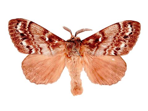Шелкопряд (коконопряд) сибирский - Имаго самец. Использовано изображение:[10]