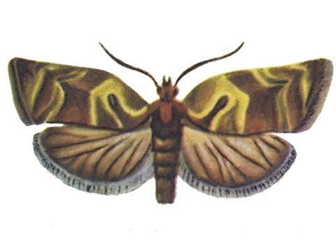 Листовертки - Листовертка-толстушка пестро-золотистая