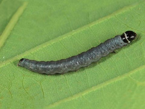 Листовертка-толстушка пестро-золотистая - Личинка в среде. Использовано изображение:[13]