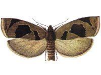 Листовертка-толстушка боярышниковая