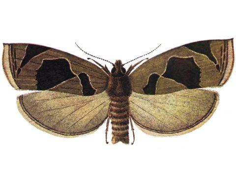 Листовертки - Листовертка-толстушка боярышниковая